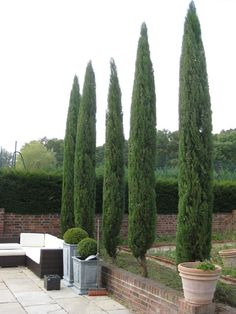 Cupressus pyramidalis after our creative maintenance team did their thing