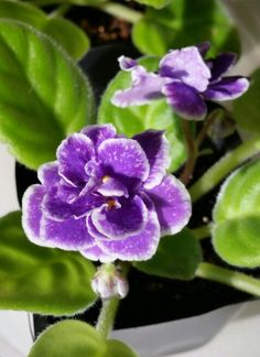 """African  violet """"Perfect Harmony """"."""