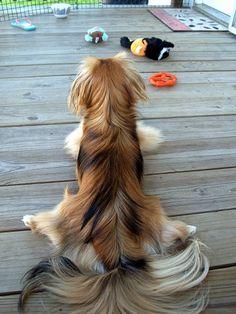 Pekingese Rug! If I let Zoey's hair grow!