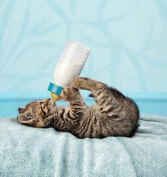 Kitten holding bottle. This is so precious.