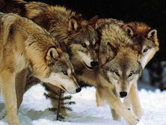 I got: Your Spirit Animal Is The Wolf!! The wolf is known for being a social creature who is very loyal to their pack. They are very protective- fiercely so. They have lots of courage and determination to protect anyone they care about.