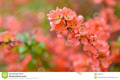 Red Spring Blossom - Download From Over 59 Million High Quality Stock Photos, Images, Vectors. Sign up for FREE today. Image: 91680744