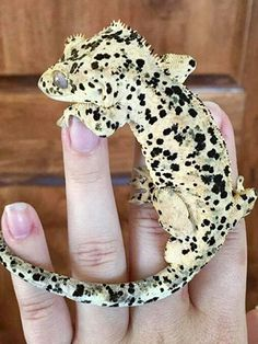 """Dalmatian"" Crestie - Anita Smith Home Cute Lizard, Cute Gecko, Little Lizard, Nature Animals, Animals And Pets, Baby Animals, Cute Animals, Cute Reptiles, Reptiles And Amphibians"