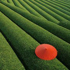 Fields of tea, China.