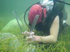 J. Sweatman collecting Amphipod samples  in order to focuse on spatio-temporal dynamics of gammaridean amphipod communities and top-down control of seagrass epiphytes by gammaridean amphipods.