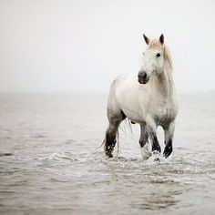 Horse photo - White horse in water, Dreamy Horse Photography, Nature, Animal, Muted - A Heart So White - Camargue Horse, France