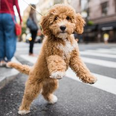 thedogist: Abigail, Miniature Labradoodle (12 w/o), 8th & 5th Ave., New York, NY
