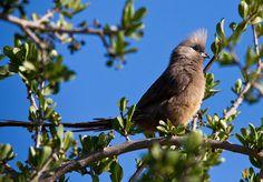 Speckled Mousebird, via Flickr.