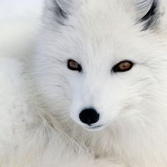 ~~ Arctic Fox by Alain Turgeon  ~~
