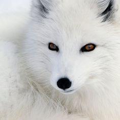 So cute!  ~~ Arctic Fox ~~