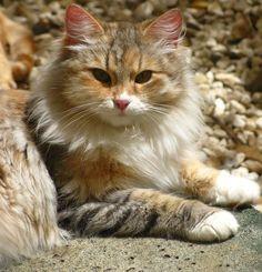 <b>siberian</b> <b>cat</b>