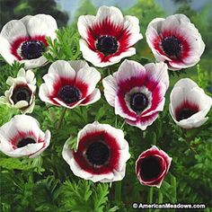 These striking, unusual Anemones boast deep red and white bi-color blooms. The large, velvety blooms are truly stunning in the garden and create a dramatic statement. Hardy in zones 7-10 and can be planted as an annual in all other zones. Great for rock gardens and containers.