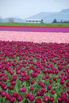 67 best skagit valley washington images tulip fields washington rh pinterest com