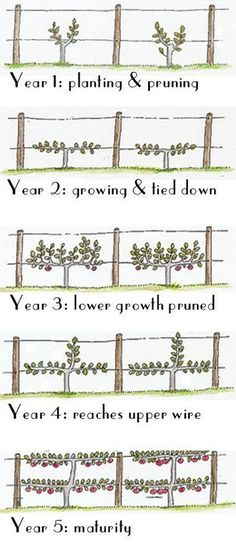 How to grow your grape vines onto an espalier - using a simple, straightforward infographic. It's simple!How to grow your grape vines onto an espalier - using a simple, straightforward infographic. It's simple!