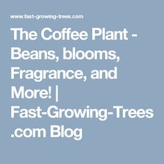 The Coffee Plant - Beans, blooms, Fragrance, and More! | Fast-Growing-Trees.com Blog