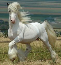 Pegasus, Gypsy Vanner Stallion. And while he looks all white here, he's not. His mane is covering his brown ears and blue eyes. And his other side has patches on it.