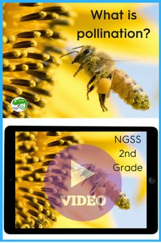 Bees work hard at pollination! Explains how pollination works and why plants need it to grow seeds. Science Videos For Kids, Science Lessons, School Themes, Classroom Themes, Bee Facts, Seed Dispersal, Human Body Activities, Second Grade Science, Green School