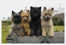 (C) Frau Buchholz - a well-behaved group of Cairn Terriers.