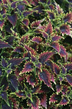 Coleus Sky Fire has intense purple and scarlet foliage with ruffled brilliant lime green edges. These new, bigger, sun loving varieties have revolutionized container gardening. Coleus plants are durable and easy to grow. The coleus plants are a tender perennials. Frost will cause them to die immediately. Coleus plants are so colorful that many people keep them and use them as a house plant.  #provenwinners #garden #spring #gardenchat #trees #flowers #gardening #plants