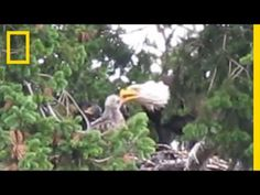 Usually Enemies Bald Eagles Adopt Red-Tailed Hawk Chick | National Geographic #news #alternativenews