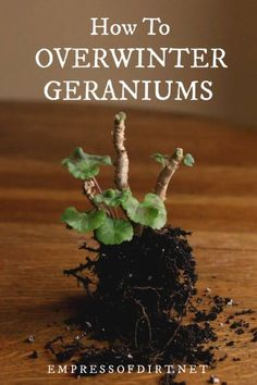 How to overwinter geraniums (Pelargoniums) by bare root storage, cuttings, as houseplants, and cool Overwintering Geraniums, Geraniums Garden, Garden Plants, Potted Plants, Growing Geraniums, Ivy Geraniums, Garden Hose, Gardening For Beginners, Gardening Tips