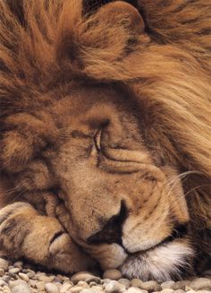 "makes me think of ""the lion will lie down with the lamb"" - oh to snuggle up to that beautiful mane!"