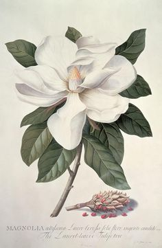 Magnolia botanical by Georg Dionysius Ehret.