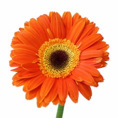 This Sherbert Orange Gerbera Daisy is a delectable shade of orange with beautiful ray-like petals. The fun pop of color is beautiful as focal or accent flowers. Summer Wedding Colors, Fall Wedding Flowers, Fall Flowers, Summer Flowers, Gerbera Daisy Tattoo, Gerbera Flower, Flower Art, Daisy Love, Flower Packaging