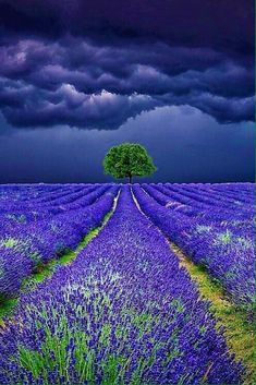 Lavender Field Storms - Stormy sky above the Lavender Fields Please also check… Pretty Pictures, Cool Photos, Beautiful World, Beautiful Places, Lavender Fields, Lavander, Lavender Blue, Nature Pictures, Beautiful Photos Of Nature