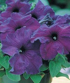 Petunia, Supercascade Blue