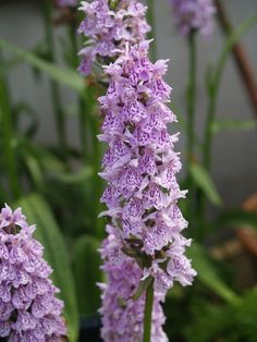 Dactylorhiza x transiens  An orchid