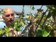 Como cuidar da jabuticaba para produzir frutos em pouco tempo! - YouTube