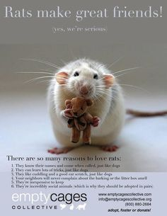 Rats make great pets! Animals For Kids, Animals And Pets, Baby Animals, Cute Animals, Strange Animals, Small Animals, Funny Animals, Rat Care, Dumbo Rat