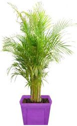 Areca golden palm in container