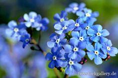 blaue Blüten - freestockgallery.de