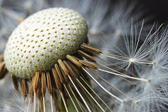 onieric:    Dandy Lion (by Nikonsnapper)  Awesome #macro #photo