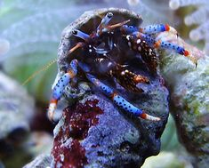Tank Cleaners : Blue Leg Hermit Crab* - Reef Cleaners
