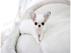 cute #chihuahua Pupps for lovely homes