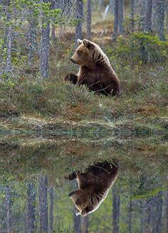 Week in Wildlife: Brown Bear Is Fascinated At His Reflection