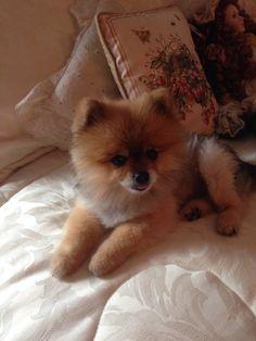 One of my Pomeranians, Dallas.