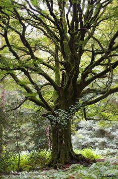 Le hêtre de Pontus dans la forêt de Brocéliande. Un arbre remarquable vieux de plus de 300 ans.