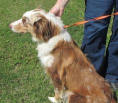 CL-red aussie is an adoptable Australian Shepherd Dog in LaPorte, TX.  ...