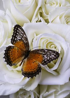 Orange Winged Butterfly On White Roses