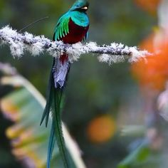 The Resplendent Quetzal plays an important role in various types of Mesoamerican mythology. It is the national bird of Guatemala, an Guatemalan quetzal. Beautiful Creatures, Animals Beautiful, Cute Animals, Cute Birds, Pretty Birds, Exotic Birds, Colorful Birds, Small Birds, Bird Gif