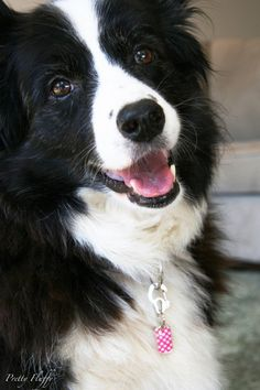 I want another Border Collie