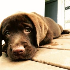 The innocent eyes. ❤ cute animals dogs, chocolate labrador retriever и brow Chocolate Labrador Retriever, Labrador Retriever Dog, Best Guard Dogs, Best Dogs, The Perfect Dog, Purebred Dogs, Puppy Care, Lab Puppies, Tier Fotos