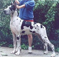 CH BMW Chip Off The Old Block Harlequin Great Danes, Dog Breeds, Old Things, Bmw, Dogs, Animals, German Language, Animales, Animaux