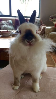 My rabbit trying to be santa claus! #merrychristmas