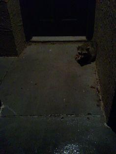 Rainy night racoon