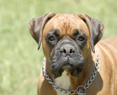 9. Boxer (Weight: 50-70 lbs.)    These dogs are intelligent, frisky and full of energy. It is not so easy to train them as they are self-willed breed. In addition, boxers are not typically aggressive by nature.